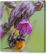 Common Carder Bee Canvas Print