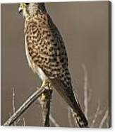 Common Kestrel Falco Tinnunculus Canvas Print