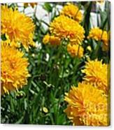 Coreopsis Named Early Sunrise Canvas Print