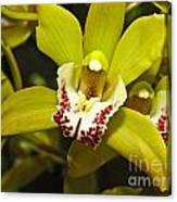 Cymbidium Orchid Canvas Print