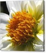 Dahlia Named Alpen Cherub Canvas Print