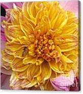 Dahlia Named Lambada Canvas Print