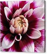 Dahlia Named Mystery Day Canvas Print