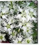 Dianthus Superbus - White Canvas Print