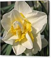 Double Daffodil Named White Lion Canvas Print