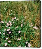 Field Bindweed (convolvulus Arvensis) Canvas Print