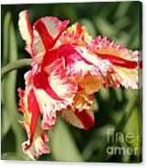 Flaming Parrot Tulip Canvas Print