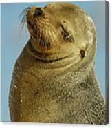 Galapagos Sea Lion Zalophus Wollebaeki Canvas Print