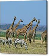 Girafe Masai Giraffa Camelopardalis Canvas Print