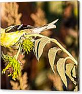 Gold Finch Canvas Print