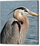 Great Blue Heron Profile Canvas Print