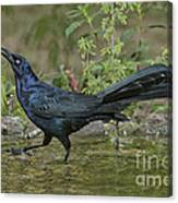 Great-tailed Grackle Canvas Print