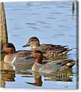 Green Winged Teal Canvas Print