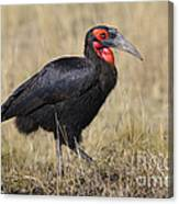 Ground Hornbill Canvas Print
