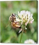 Honeybee On Clover Canvas Print