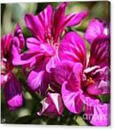 Ivy Geranium Named Contessa Purple Bicolor Canvas Print
