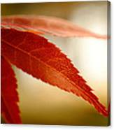 Japanese Maple Leaf Canvas Print