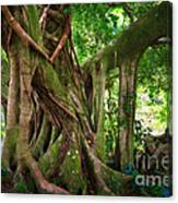 Kipahulu Banyan Tree Canvas Print
