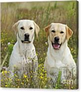 Labrador Retriever Dogs Canvas Print