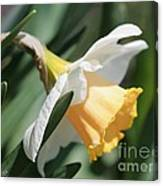 Large-cupped Daffodil Named Mrs. R.o. Backhouse Canvas Print