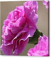 Lavender Carnations Canvas Print