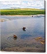 3-lay Of Land Grizzly Bears In Moraine River In Katmai National Preserve-ak Canvas Print