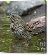 Lincolns Sparrow Canvas Print