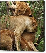 Lion Cubs On The Masai Mara  Canvas Print