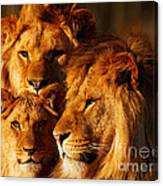 Lion Family Close Together Canvas Print
