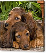 Long-haired Dachshunds Canvas Print