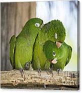 3 Love Birds -206 Canvas Print