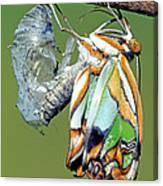 Malachite Butterfly Metamorphosis Canvas Print
