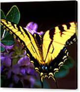 Monarch On Mountain Laurel Canvas Print
