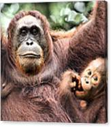 Mother And Baby Orangutan Borneo Canvas Print