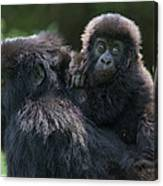 Mountain Gorilla And Infant  Canvas Print