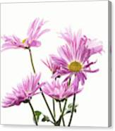 Mums Flowers Against White Background Canvas Print