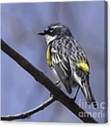 Myrtle Warbler Canvas Print