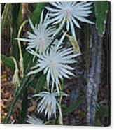 Night Blooming Cactus Canvas Print