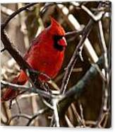 Northern Cardinal Male Canvas Print