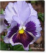 Pansy From The Chalon Supreme Primed Mix Canvas Print