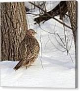 Pheasant Canvas Print