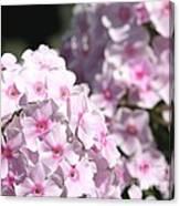 Phlox Paniculata Named Bright Eyes Canvas Print