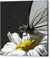 Pine White Butterfly Canvas Print