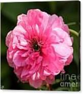 Pink Ranunculus Canvas Print