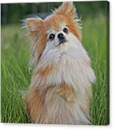 Pomeranian Dog Canvas Print