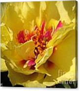 Portulaca Named Happy Hour Banana Canvas Print