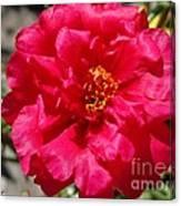 Portulaca Named Sundial Fuchsia Canvas Print