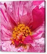 Portulaca Named Sundial Peppermint Canvas Print