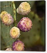 Prickly Pear Cactus  Canvas Print
