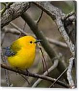 Prothonotary Warbler Canvas Print